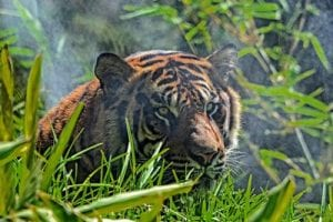 Sumatran tigers are just one of the beautiful and threatened creatures living in the rainforests of Sumatra.